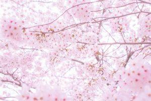 まなべ整膚療院、桜、リウマチ